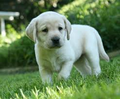 yellow lab puppy for
