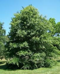 Oak Tree Growth Rate Chart Quercus Palustris Wikipedia