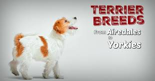 The Ultimate Guide To Terrier Breeds Terribly Terrier