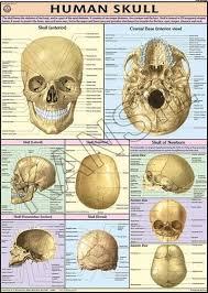 Human Skull For Human Physiology Chart