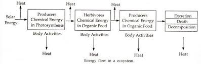 Energy Flow In An Ecosystem With Diagram