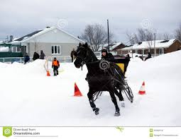 Canadian Light Horse Canadian Horse Pulling Sleigh Editorial Stock Photo Image