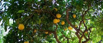 Edible Landscaping \u2014 The 5 Best Fruit Trees In North Florida