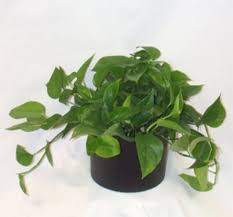office plants no light. Gallery Of Plants For Your Office That Can Grow With Almost No Sunlight Plant Clean Low Light Superb 10 -