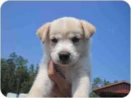 white german shepherd husky mix puppy. Perfect Husky Meet HuskyShepherd Mix Puppies A Dog For Adoption On White German Shepherd Husky Puppy