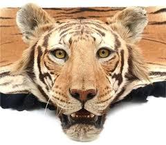 tiger skin rug large from the famed company of van estimate real tiger skin rug