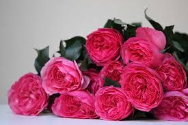 rose baronessse rose baronesss bright pink garden rose