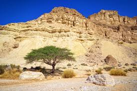 Image result for tree desert israel