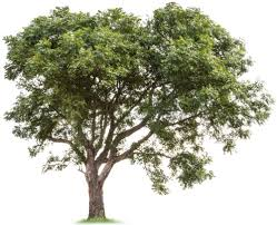 the history of the neem tree justneem the history of the neem tree