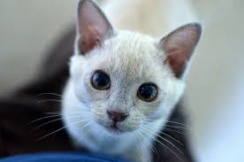Alvin the lilac <b>burmese kitten</b> | <b>Burmese kittens</b>, Cute cats and kittens ...