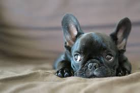 Image result for French bulldogs