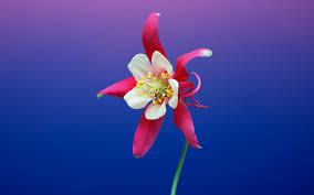 Aquilegia Flower iOS 11 iPhone 8 X ...