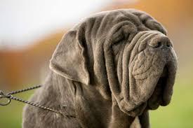 Mastiff Height Chart Full List Of Mastiff Dog Breeds