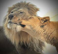 lioness and lion cuddle. Beautiful And Lioness And Lion Cuddle  Photo27 Intended And Lion Cuddle L