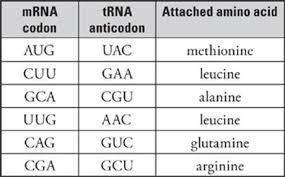 Trna Anticodon Chart Transcription And Translation Subject Review Sat Biology