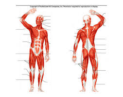 This system is mainly concerned with producing movement through muscle contraction. Human Muscular System Diagram