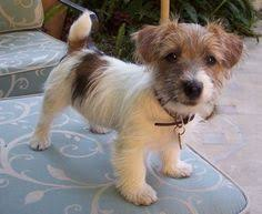 wire haired jack russell terrier. Wire Hair Jack Russell Terrier Named Crumpetso Cute Killing Me Animals Pinterest Dogs And On Haired