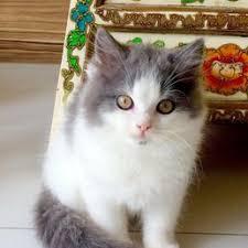 photo of pets city singapore singapore ragain kitten