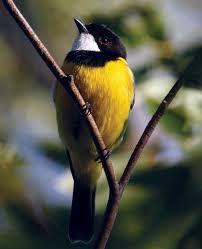<b>Golden</b> whistler | bird | Britannica