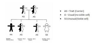 Sickle Cell Anemia Inheritance Pattern Unique Inheritance Of Sickle Cell Anaemia Sickle Cell Society