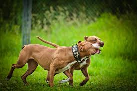 Red Nose Pitbulls The Ultimate Dog For The Committed Owner