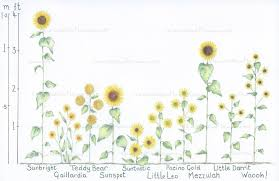 Sunflower Growing Chart 31 Most Wonderful Sunflowers With Height Guide Tried And
