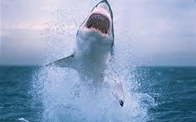 shark attack wallpaper. Simple Shark Shark Jump Intended Attack Wallpaper A
