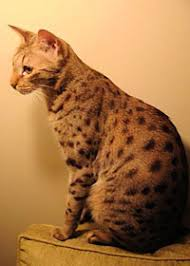 the the f3 savannah cat