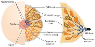 Anatomy And Physiology Of The Female Reproductive System