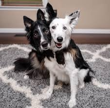 recently bove and her husband decided to adopt another border collie they waited for a couple of months to find if there is any puppy that need to be