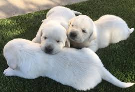 akc yellow puppies