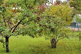 Tree Of 40 FruitsDifferent Fruit Trees