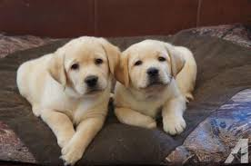 yellow lab puppies for sale. Plain Yellow Champion Sired AKC Yellow Labrador Retriever Puppies Throughout Lab For Sale I