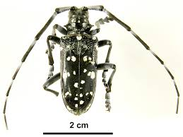 Asian Longhorned Beetle Agriculture And Food