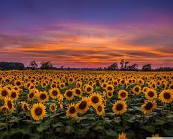 Field Of Sunflowers Wallpapers ...