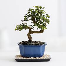 chinese elm bonsai bonsai tree