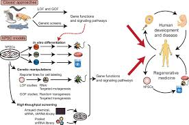 human pluripotent stem cells an emerging model in developmental figure
