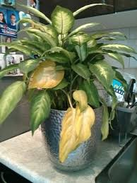 house plant leaves turning yellow house plant leaves turning yellow with brown spots house plant leaves turning yellow