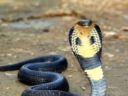 cobra snakes picture king cobra with head upright on brown dirt ground king cobra snakes hd