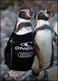featherless penguin. Plain Penguin Ralph The Featherless Penguin Sponsored By Ou0027Neill Too Cute Intended Featherless Penguin U