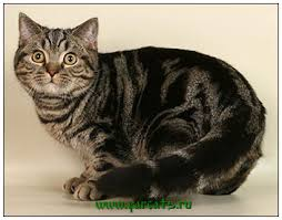 british shorthair cat black clic tabby