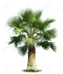 fan palm trees. fan palm tree: green tree isolated on white background trees s