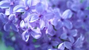 Purple Flowers Wallpapers ...