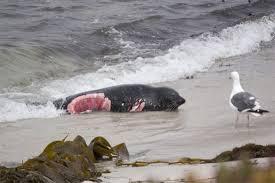 shark attack on humans. Modren Humans Mauled  For Shark Attack On Humans I