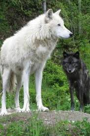 white wolf and black wolf fighting. Exellent Wolf Black And White Wolves Fighting  Google Search In White Wolf And Black Fighting