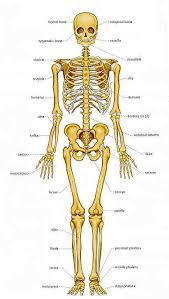 Human Bone Chart Chart Of Human Bones Forensic Anthropology Anthropology