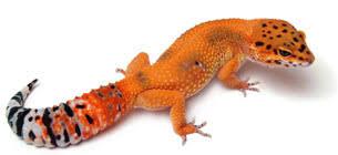 Leopard Gecko Morph Chart Reptile Calculator
