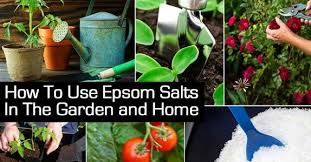 epsom salts for gardening.  Gardening Epsom Salt Magnesium Sulfate Is A Wellreputed Organic Gardening  Supplement Discover The Benefits Of Ultra Salt As Soil Enhancement Create Lush  With Salts For Gardening S