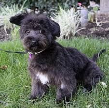 scottish terrier mix. Contemporary Terrier Scottish Terrier Poodle Mix For I