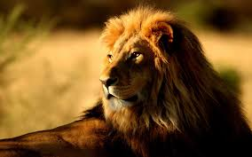 s lions cool hd wallpaper